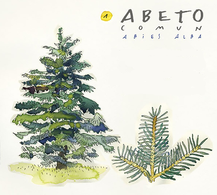 Abeto. Guía de árboles del Camino Francés
