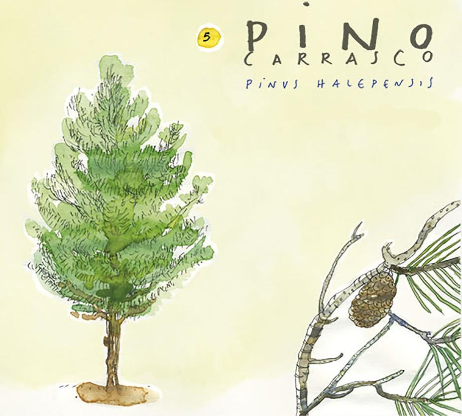 Pino carrasco. Guía de árboles del Camino Francés