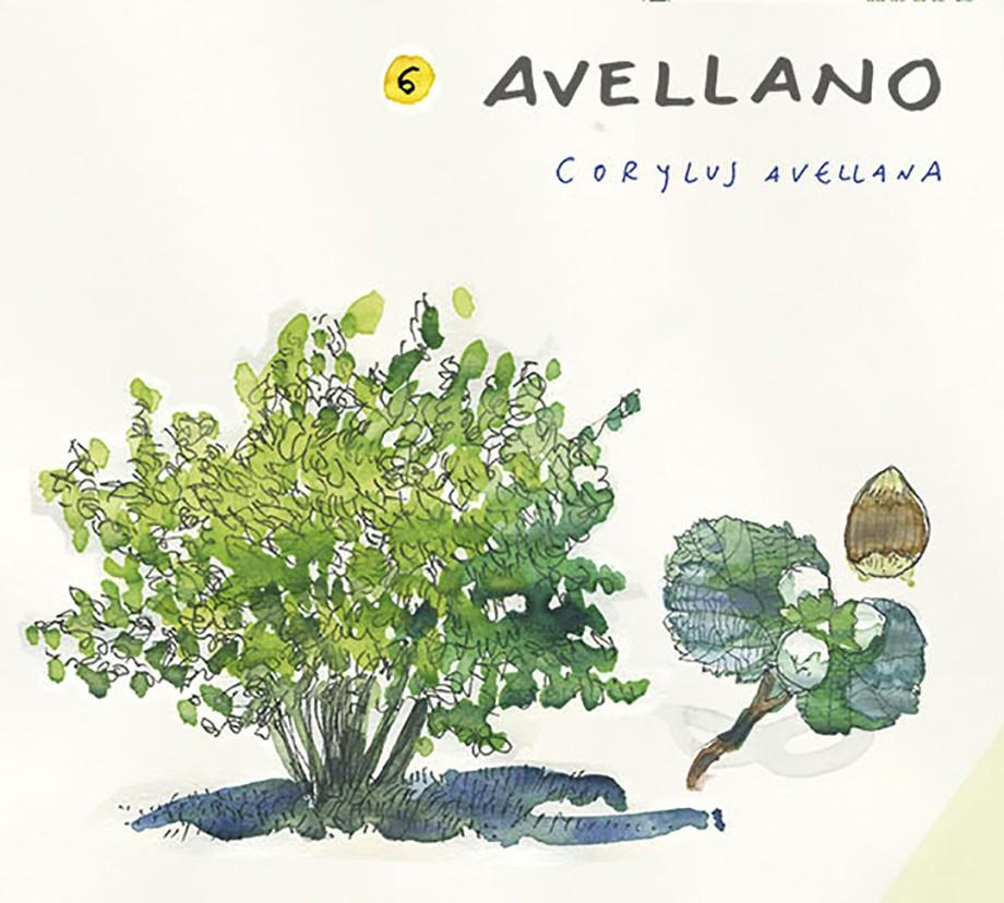 Avellano. Guía de árboles del Camino Francés