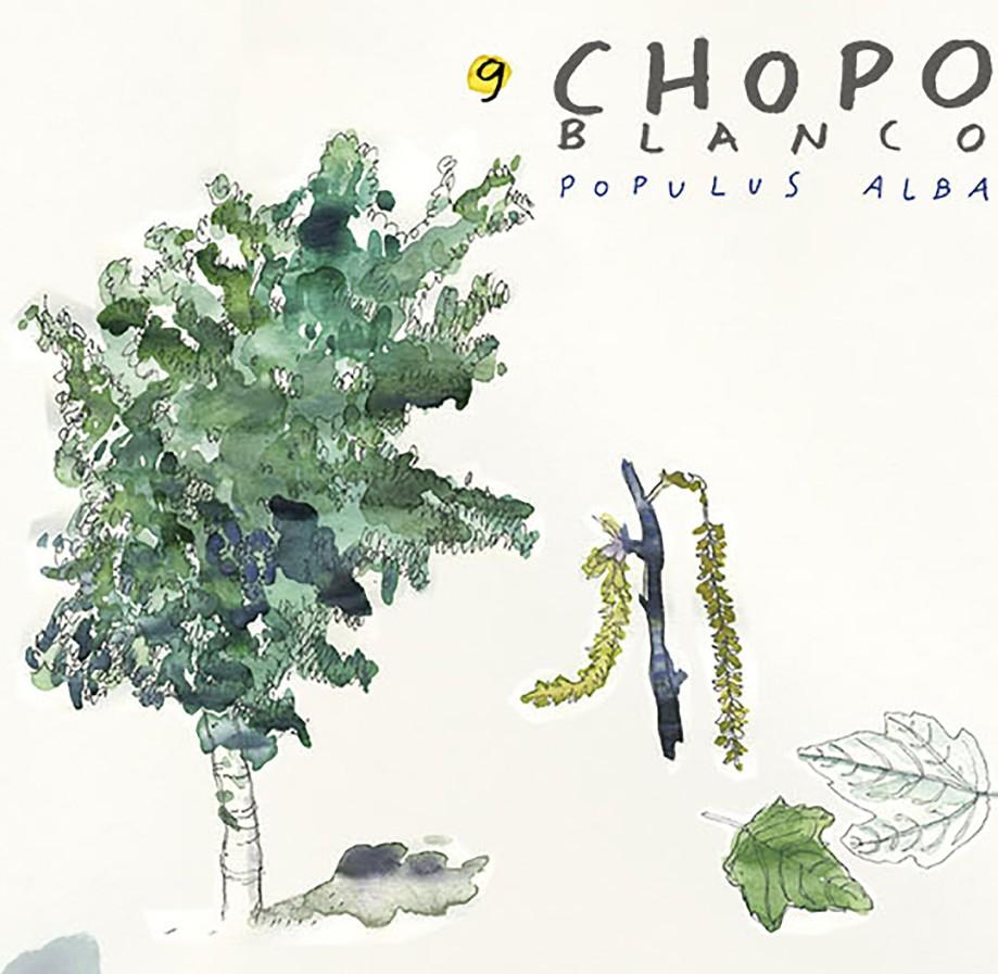 Chopo blanco. Guía de árboles del Camino Francés
