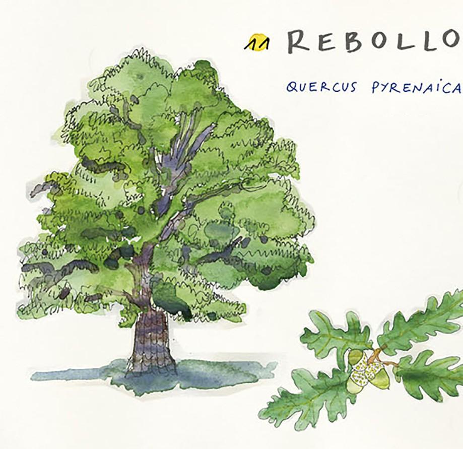 Rebollo. Guía de árboles del Camino Francés