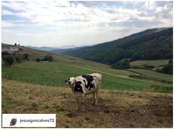 camino de santiago cow