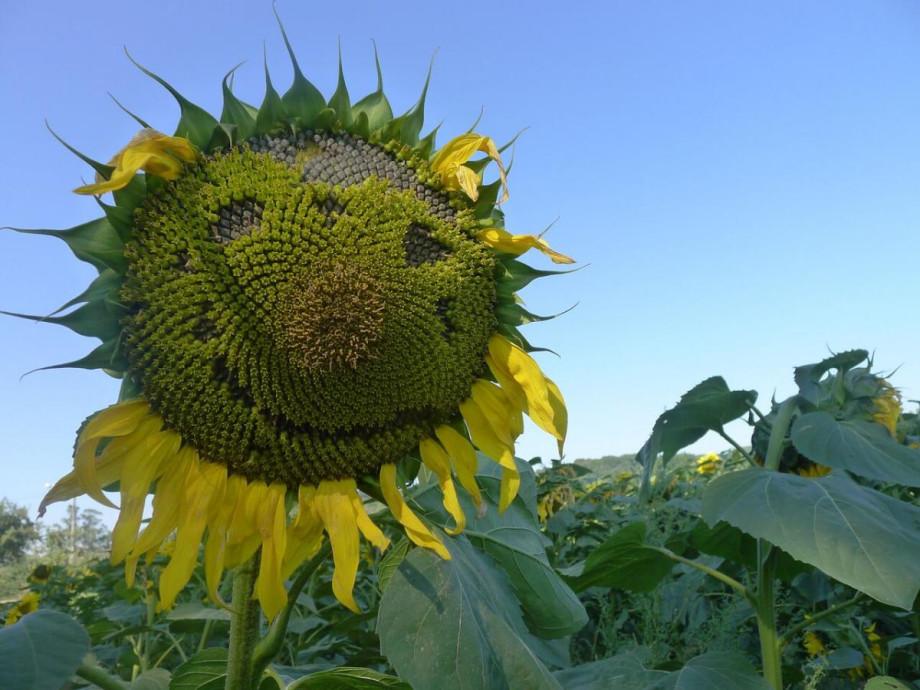 sunflowers camino santiago