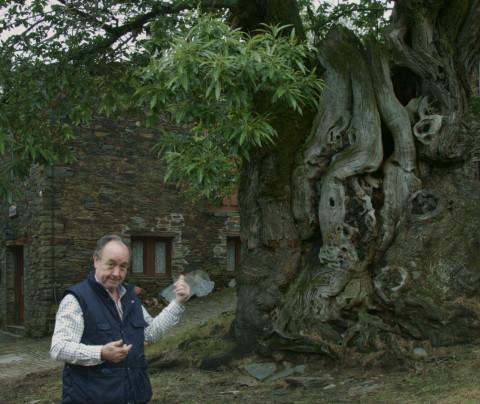 Castaño de Ramil, el árbol del Camino de Santiago