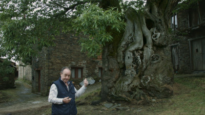 The chestnut tree of Ramil, the tree of the Camino de Santiago