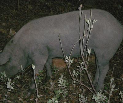 Cerdo en la Vía de la Plata