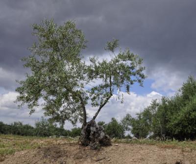Olivo de Plasencia