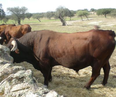 Toros en Vía de la Plata